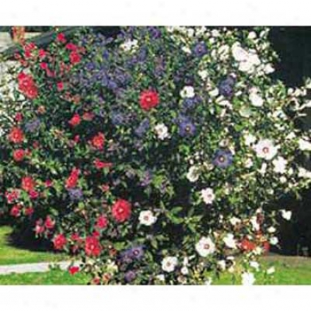 3-n-1 Rose Of Sharon Tree