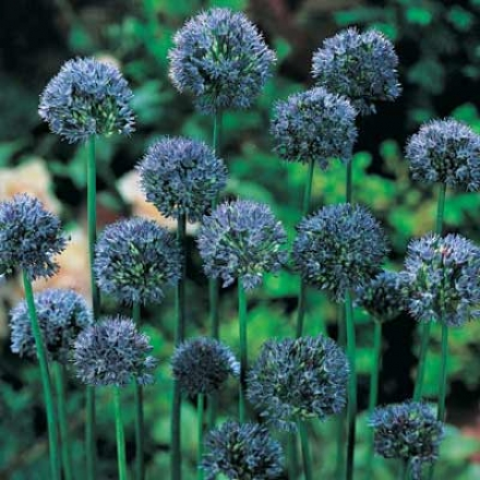 Allium, Blue Drumstick