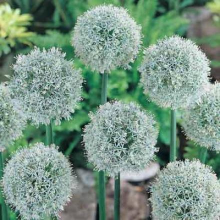 Allium, Mounr Everest