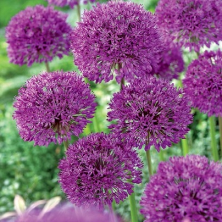 Allium, Purple Sensation