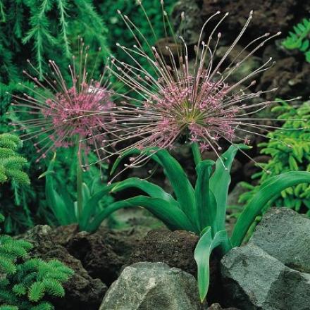 Allium, Shubertii