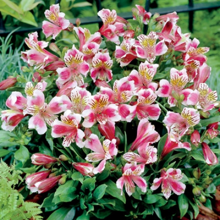 Alstroemeria, Rose Frost