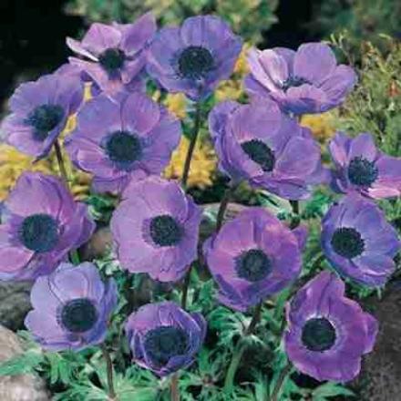 Anemone, Blue Poppy