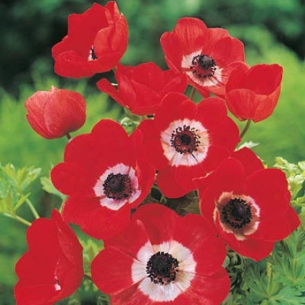 Anemone, Red