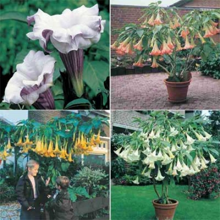 Angel Trumpet Collection