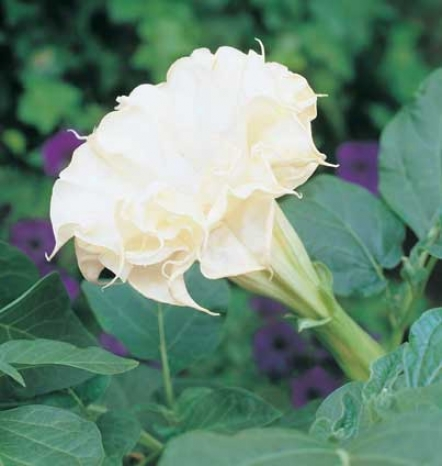 Angel Trumpet, Double White