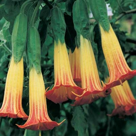 Angel Trumpet, Red