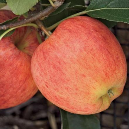Apple, Dwarf Gala