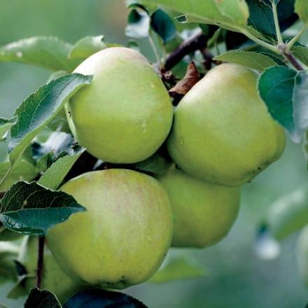 Apple, Lodi Dwf