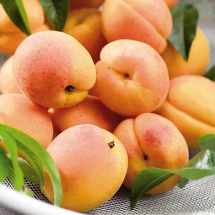 Apricot, Moorpark Dwf