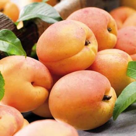 Apricot, Moorpark Std
