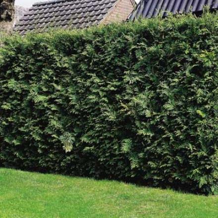 Arborvitae, American 1-2'