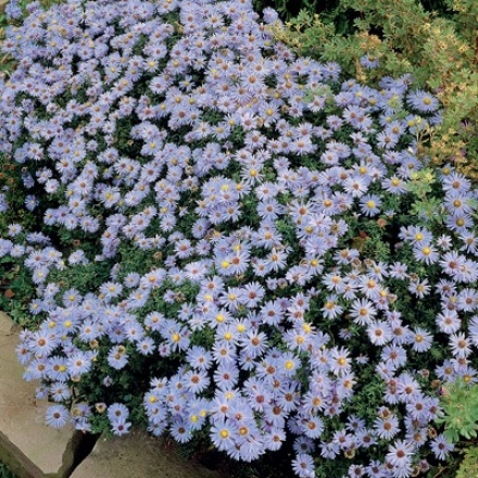Aster, October Skies