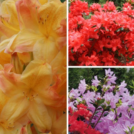 Azalea Collection, Festive