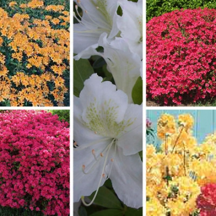 Azalea Collection