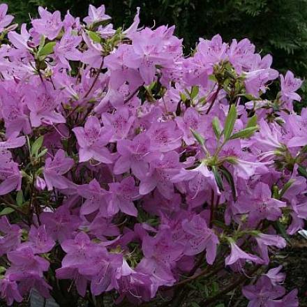 Azalea, Lavender