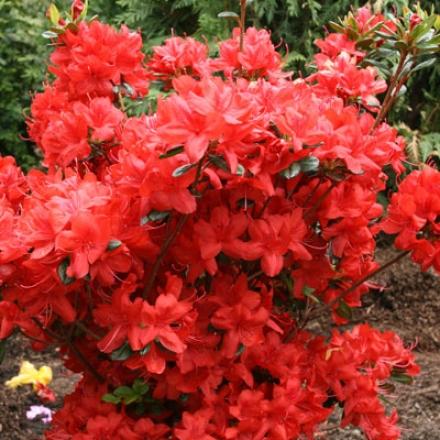 Azalea, Red