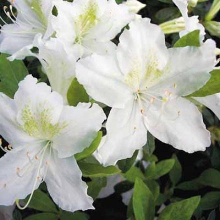 Azalea, White