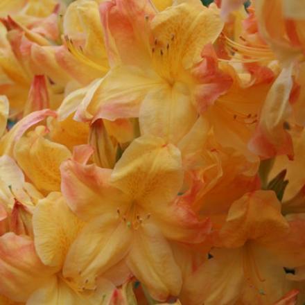 Azalea, Yellow