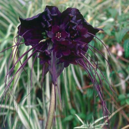 Batflower, Dark