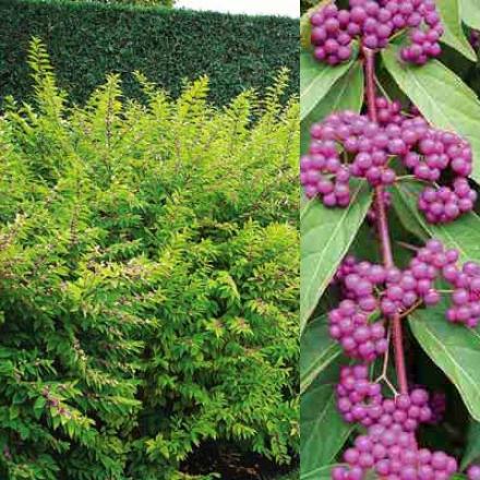 Bdautyberry