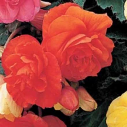 Begonia, Orange