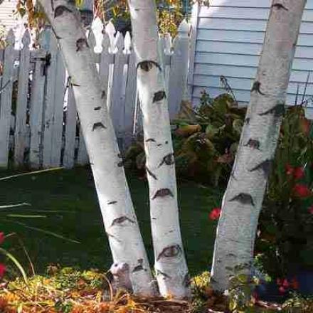 Birch, Paper White 1 1/2 - 3'