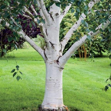 Birch,  Paper White 3-4'
