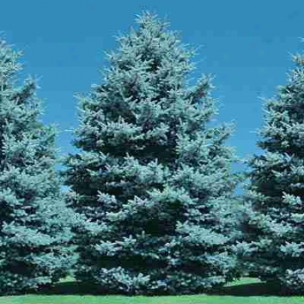 Blue Spruce, 1-2' 4-5 Yr Old