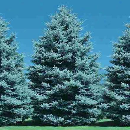 Blue Spruce 1-2' 4 Year Old Jumbo