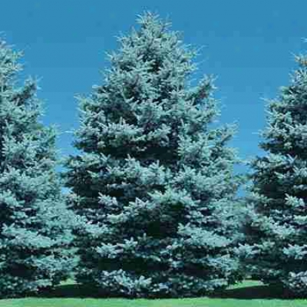 Blue Spruce, 3 Year Old