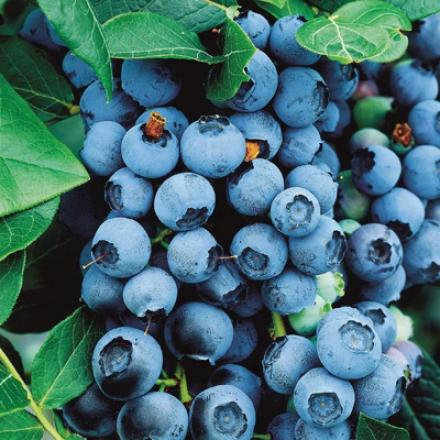 Blueberry, Bluecrop Premium