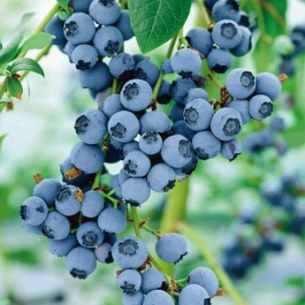 Blueberry, Duke Choice