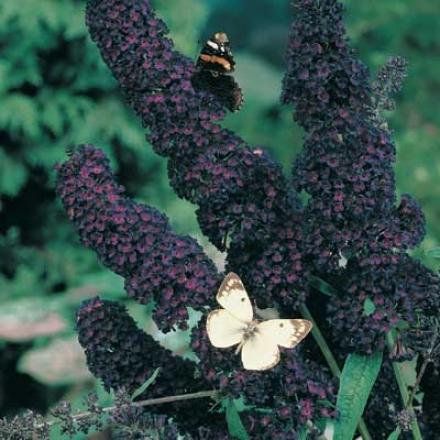 Butterfly Bush, Black Cavalier