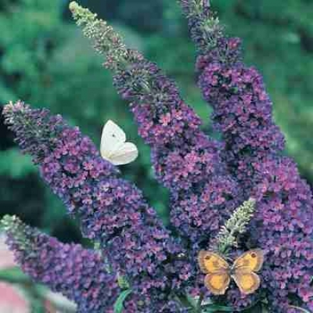 Butterfly Bush, Azure