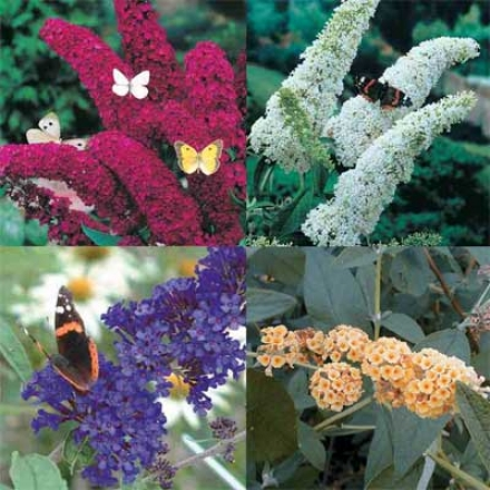 Butterfly Bush Collecrion