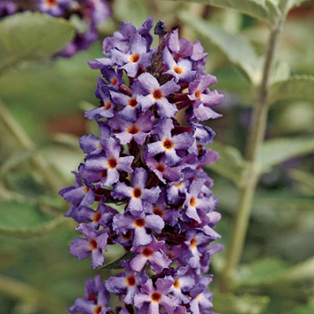 Butterfly Bush, Flutterby Petite™ Blue Heaven
