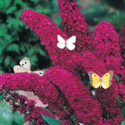 Butterfly Bush, Red Royal