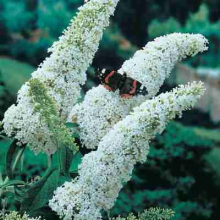 Butteerfly Bush, White