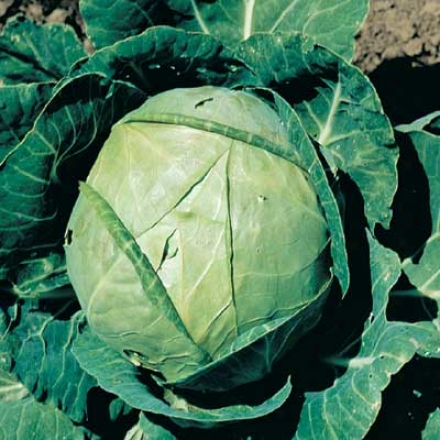 Cabbage, Flat Dutch