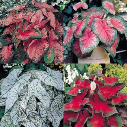 Caladium Collection