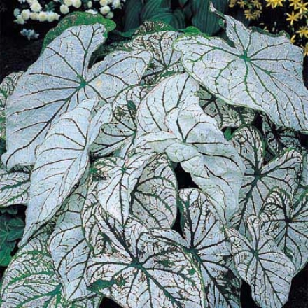 Caladium, Whitr Christmas