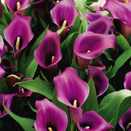 Calla Lily, Dark Purple