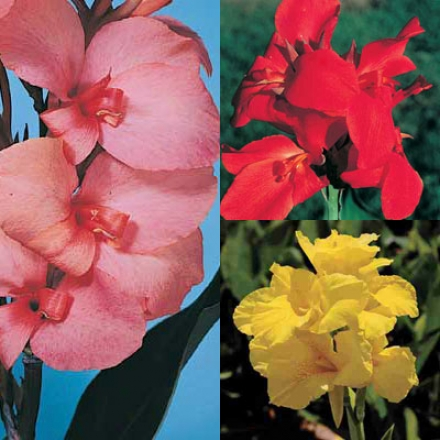 Canna Collection, 3