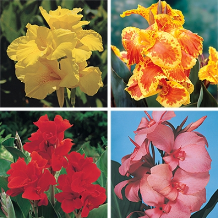Canna Collection, Multi-color