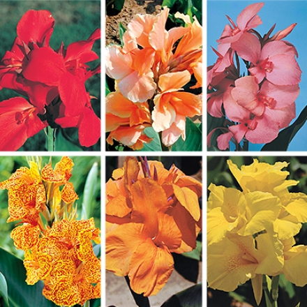 Canna Collection, Tropical Flair Special