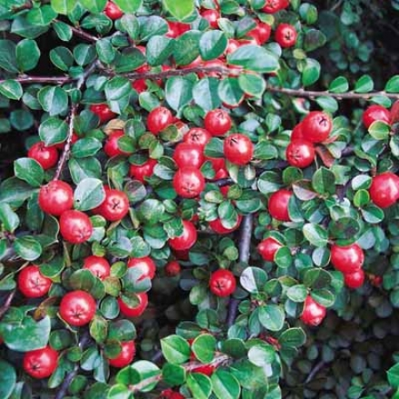 Carefree Cotoneaster
