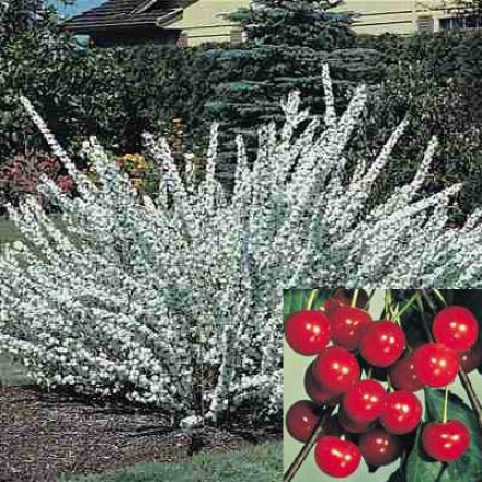 Cherry, Hansen's Bush