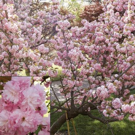 Cherry, Kwanzan Flowering