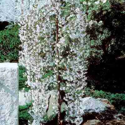 Cherry, Snow Fountains� Weeping